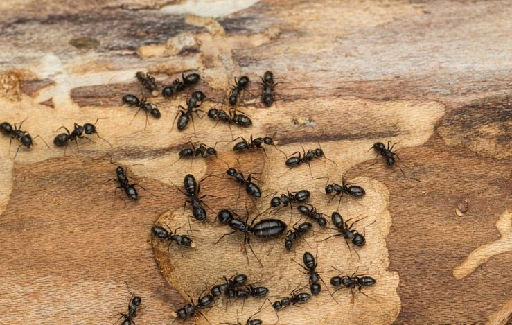 Get rid of ants in easy and simple manner
